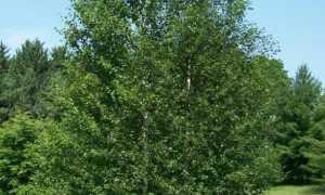 Береза пушистая (betula pubescens, alba): фото и описание, уход