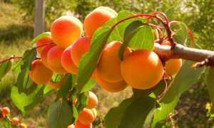 Удобрения абрикоса: сроки внесения, разновидности и особенности