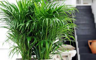 Пальма хризалидокарпус: уход, размножение, пересадка