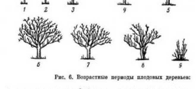 Возрастные периоды плодовых растений