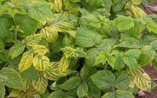 Хлороз малины: 9 способов лечения и 6 устойчивых сортов, фото