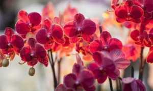 Красные орхидеи: бывают ли они такого цвета, и фото, описание сортов, особенности выращивания и ухода, болезни и вредители