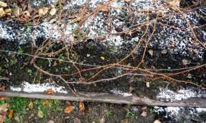 Укрываем виноград на зиму в средней полосе: способы, сроки