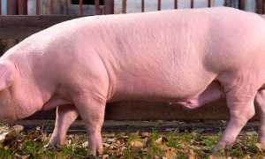 Лучшие мясные породы свиней