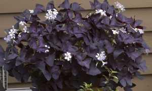 Фиолетовые листья