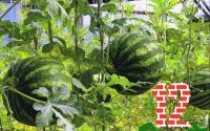 Выбираем сорта арбуза для посадки в Ленинградской области