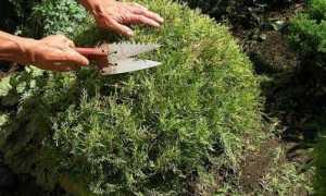 Обрезка туи весной и осенью: формирование кроны, можно ли обрезать по высоте