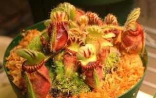 Цефалотус мешочковидный – Насекомоядные растения