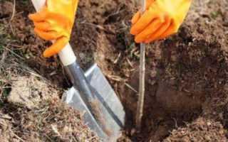 Посадка вишни осенью: когда и как правильно сажать