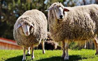 Где можно купить продать овец и баранов: особенности выбора и продажи