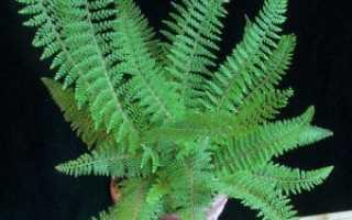 Многорядник шиповатый: фото, условия выращивания, уход и размножение