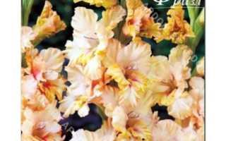 Гладиолус гофрированный Румба Фриззл, описание, фото, условия выращивания
