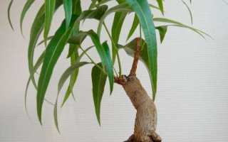 Брахихитон или бутылочное дерево: уход в домашних условиях, фото (бонсай)