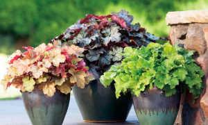 Можно ли гейхеру выращивать как комнатное растение?