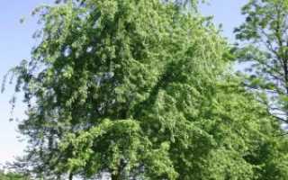Клен серебристый, фото, описание, условия выращивания, уход