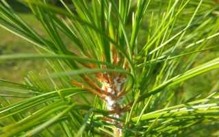 Хермес на хвойных деревьях: чем обрабатывать от вредителя, виды