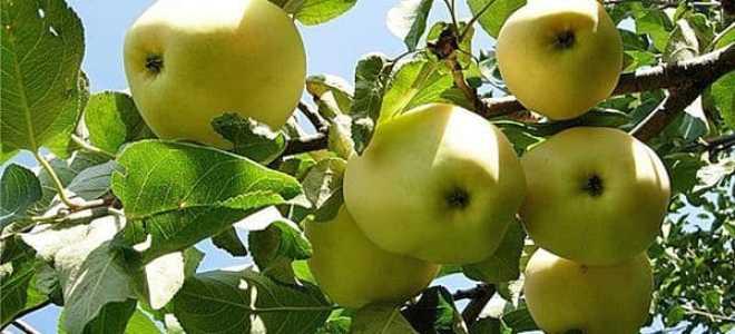 Яблоня лимонка описание фото