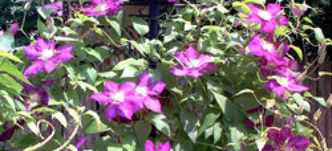 Клематис крупноцветковый Силенд Джем, описание, фото, условия выращивания