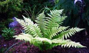Щитовник амурский: фото, условия выращивания, уход и размножение