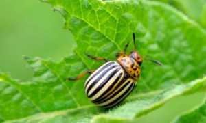 Колорадский жук среда обитания