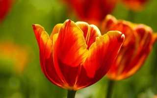 Пошаговая инструкция выгонки тюльпанов в домашних условиях