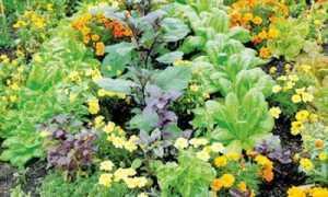 Соседство овощей на грядках таблица