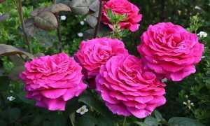 Роза парблю