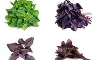 Базилик Арарат фиолетовый: описание и фото, особенности выращивания из семян в открытом грунте и домашних условиях