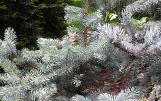 Ель колючая 'Серебристая' фото, описание, посадка, уход, в дизайне сада
