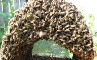 Как поймать рой пчел?