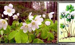 Кислица обыкновенная: описание, время цветения, меры борьбы
