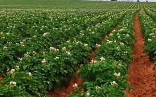 Сорт картофеля – Голландка: подробное описание, характеристика видов и фото