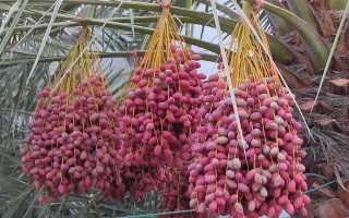 Финиковая пальма – царица оазисов