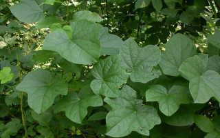 Луносемянник даурский: фото, условия выращивания, уход и размножение