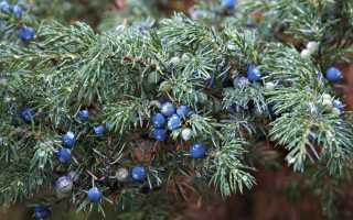 Можжевельник сибирский (Juniperus sibirica): описание, ареал распространения, посадка и уход
