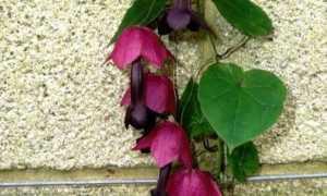Выращивание родохитона из семян