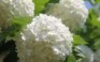 Калина трехлопастная: фото, условия выращивания, уход и размножение