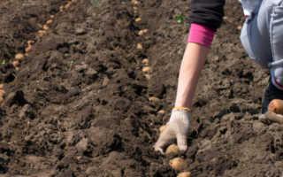 Посадка картофеля в мае 2020 года