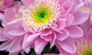 Горшечные хризантемы в саду