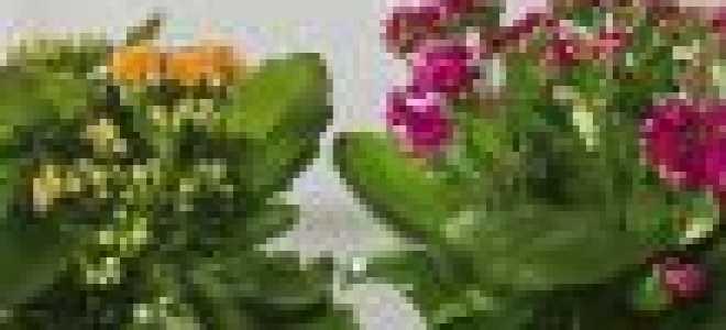 Размножение каланхоэ черенками: особенности процесса