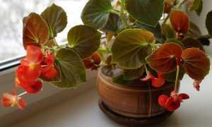 Бегония Фиста: комнатное растение с фото, описание внешнего вида, особенности ухода в домашних условиях и размножения