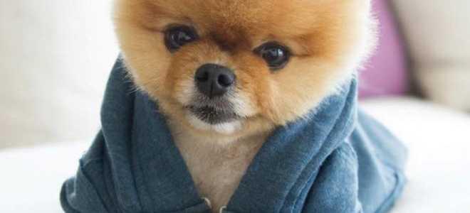 Джифф – самая талантливая и фотогеничная собака в мире, покорившая миллионы своим очарованием