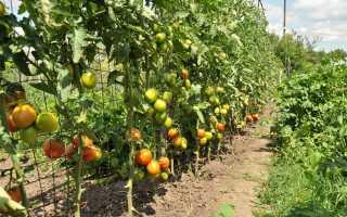 Выращивание помидор на шпалере