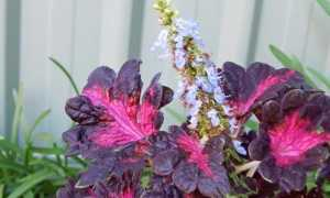Колеус Черный Дракон: 11 фото, тонкости выращивания в саду и дома