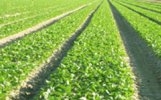 Урожайность редиса с 1 га в открытом грунте, сотки, в теплице