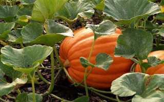 Как правильно выращивать тыквенные культуры. Советы, рекомендации