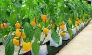 Урожайность перца: с куста, с сотки, с 1 га, урожайность разных сортов