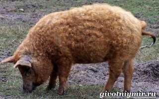 Мангалица венгерская (порода свиней) – описание, фото, отзывы