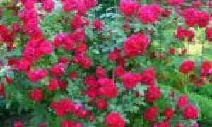 Роза Бэнкс: фото, условия выращивания, уход и размножение