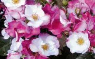 Роза окки ди фата